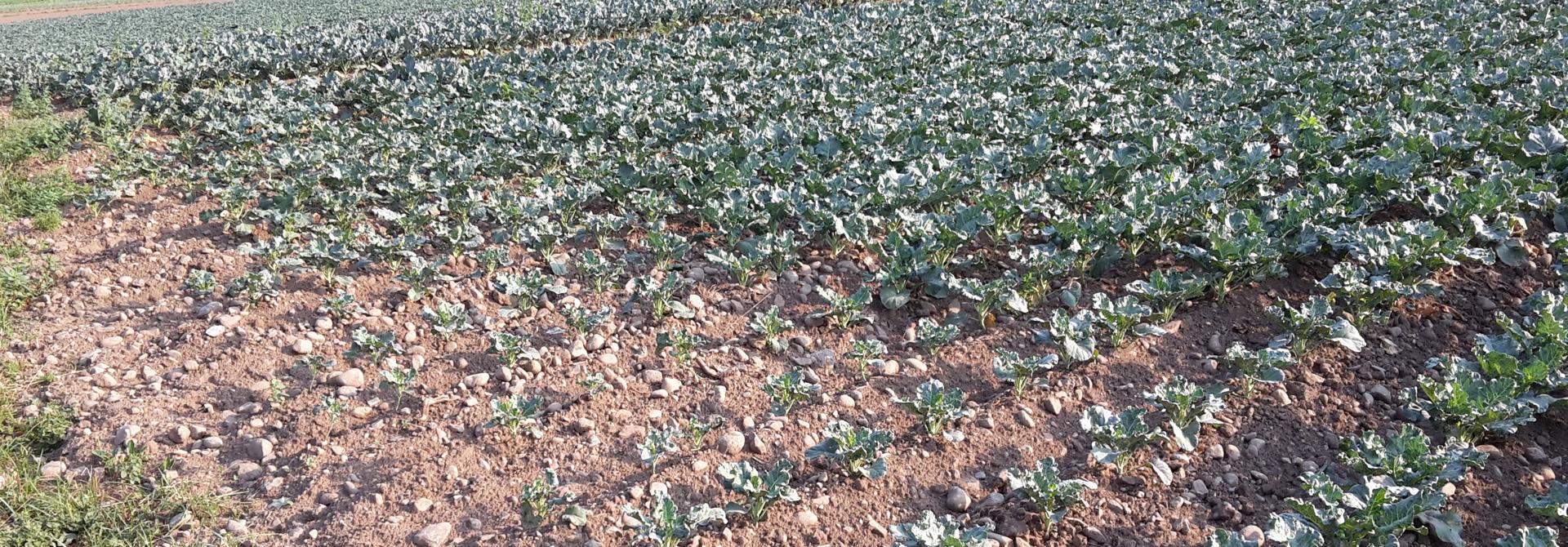 Die Bewu00e4sserung entscheidet momentan u00fcber das Pflanzenwachstum. Reichen die Sprinkler nicht bis an den Feldrand wie hier, ist das Wachstum deutlich verzu00f6gert.>