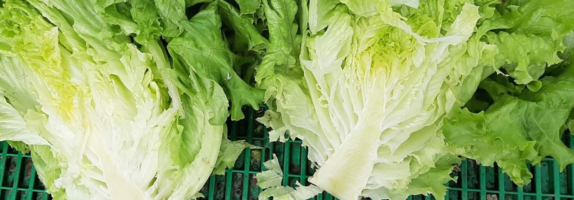 Bei den Salaten verlangen die Qualitu00e4tsnormen, dass diese nicht aufgeschossen sind wie hier bei einem gru00fcnen Bataviasalat, weil dies die Qualitu00e4t geschmacklich und beim Ru00fcstaufwand zuhause beeintru00e4chtigt.>