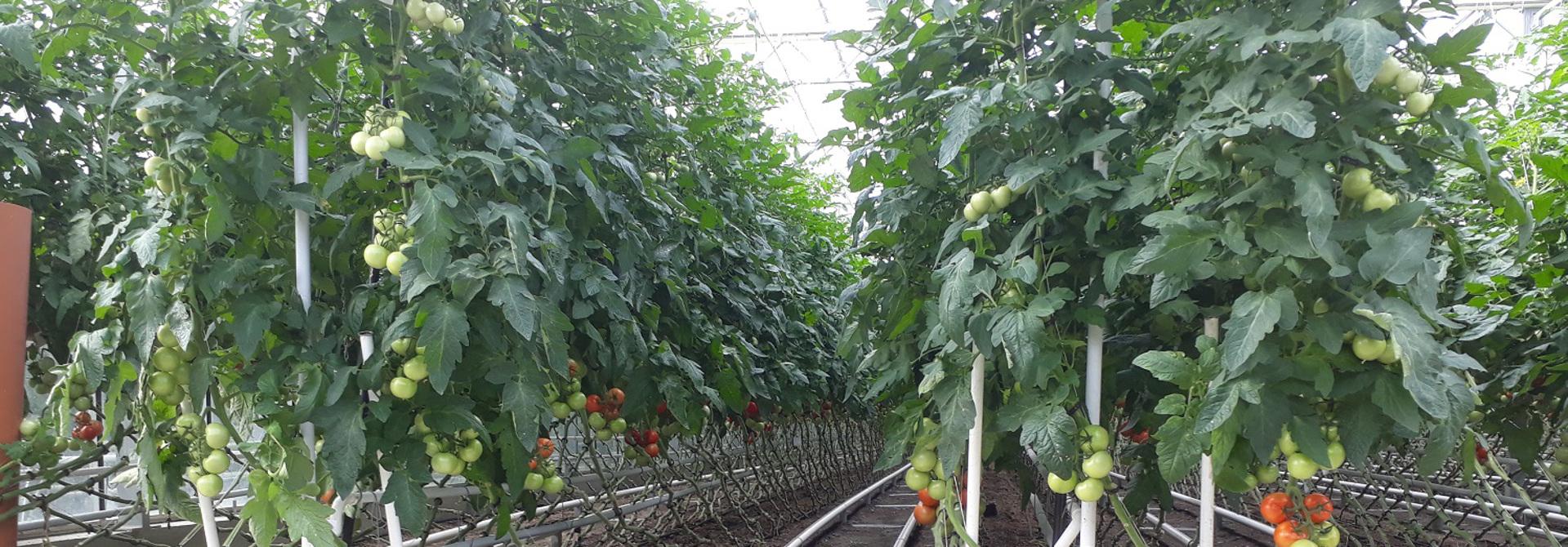 Tomaten-Anbau im Gemu00fcse-Gewu00e4chshaus>