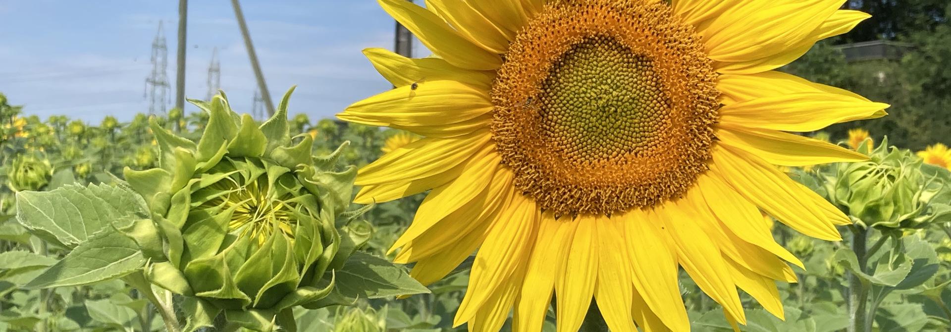 Blu00fchende Sonnenblume im Bodenbearbeitungsversuch 2020>