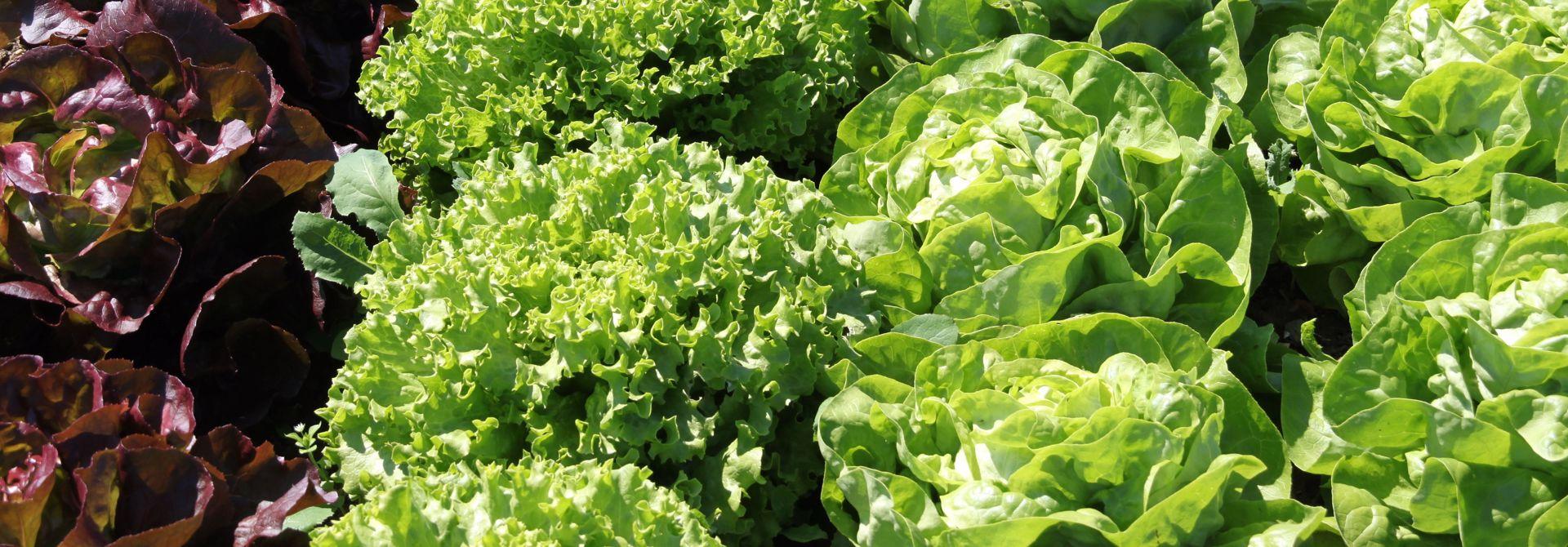 Salat aus dem eigenen Garten>