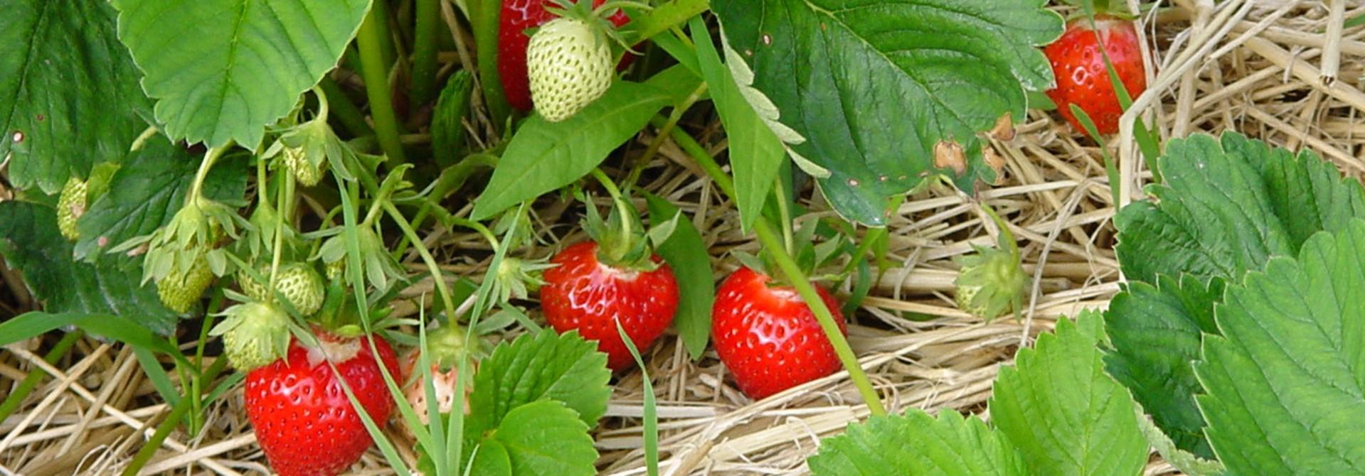 Erdbeerpflanze mit Strohunterlage>