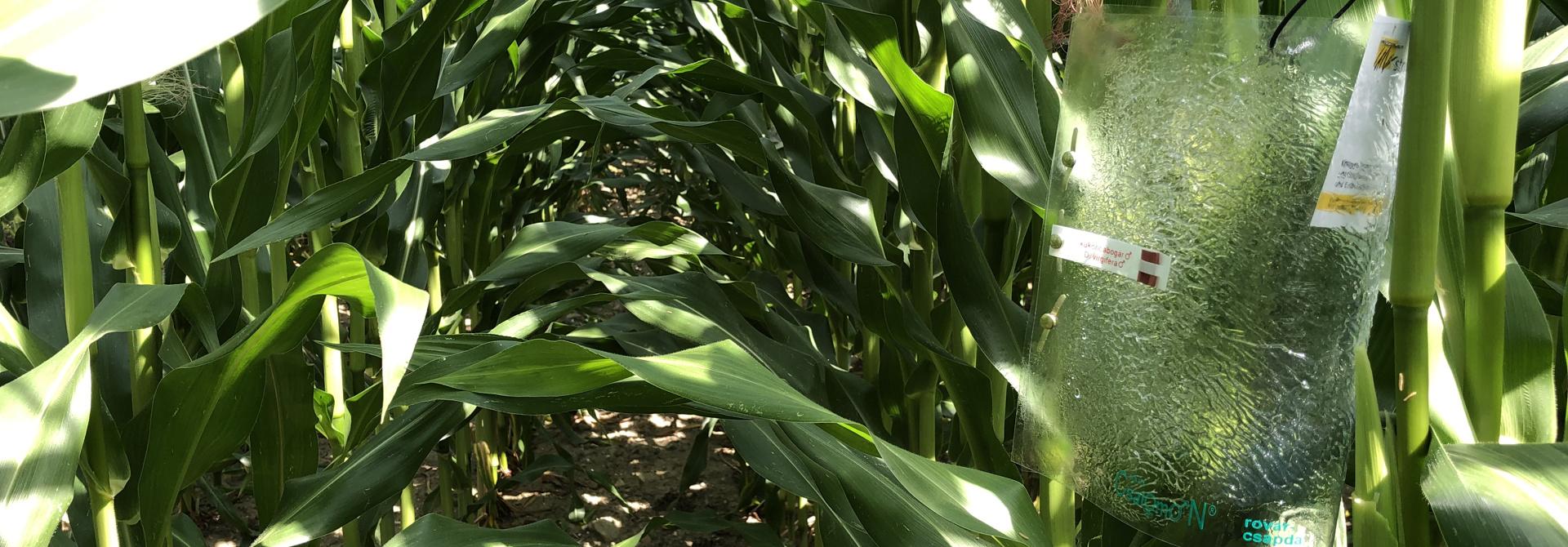 Die Fallen zur u00dcberwachung des Maiswurzelbohrers werden direkt an die Pflanze gehu00e4ngt. Sie bestehen aus einer Klebefalle und einem Duftstoff, der die Ku00e4fer anzieht.>