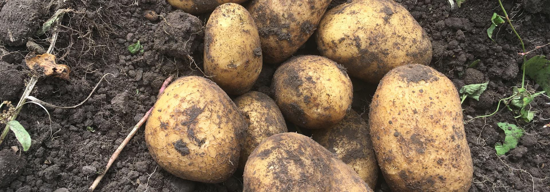 Kartoffeln der Sorte Agria>