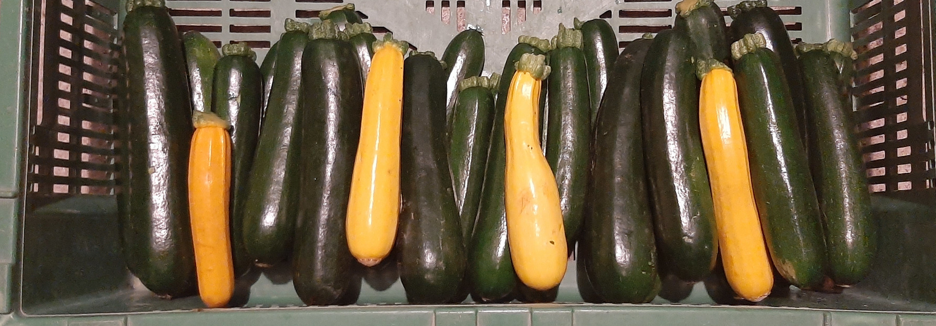 Zucchini>