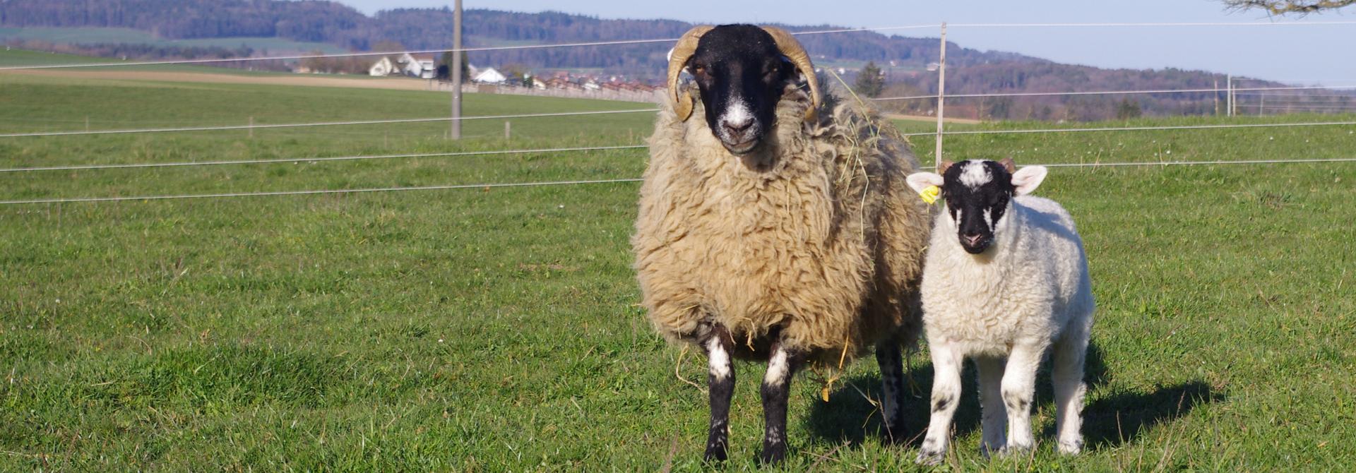 Schafe auf der Weide>