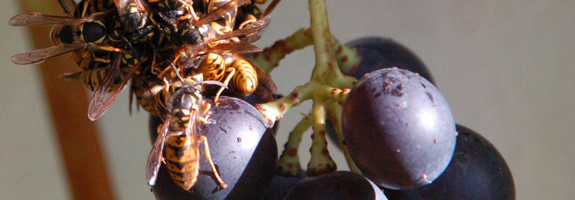 Auch Wespen fliegen auf su00fcsse Trauben>