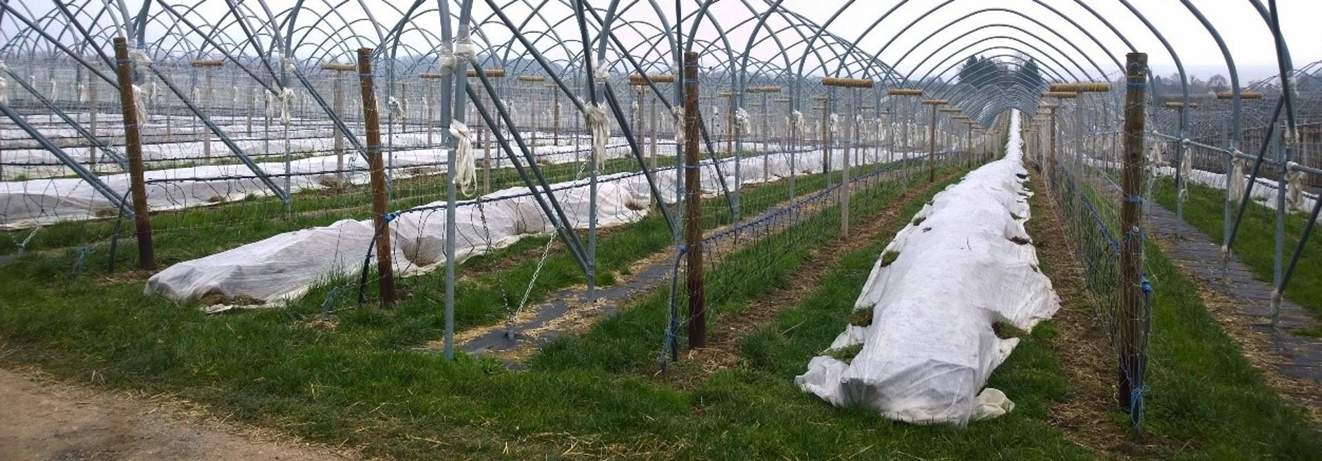 Himbeeren oder Brombeeren im Topf (long cane) werden bei Dauerfrost zum Schutz auf den Boden gelegt und mit schwerem Vlies abgedeckt>