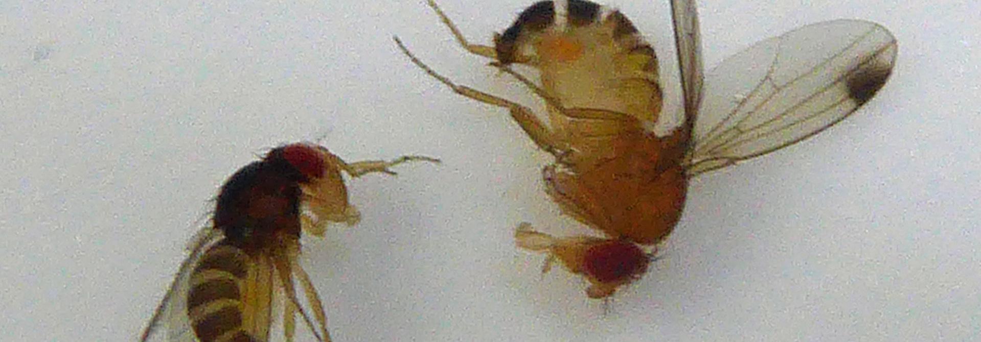 Die einzelnen Individuen der KEF ku00f6nnen sich stark unterscheiden. Sowohl in der Gru00f6sse, als auch in der Fu00e4rbung. Hier im Bild zwei mu00e4nnliche Exemplare. Das dunklere ist eine typische Winterform.>