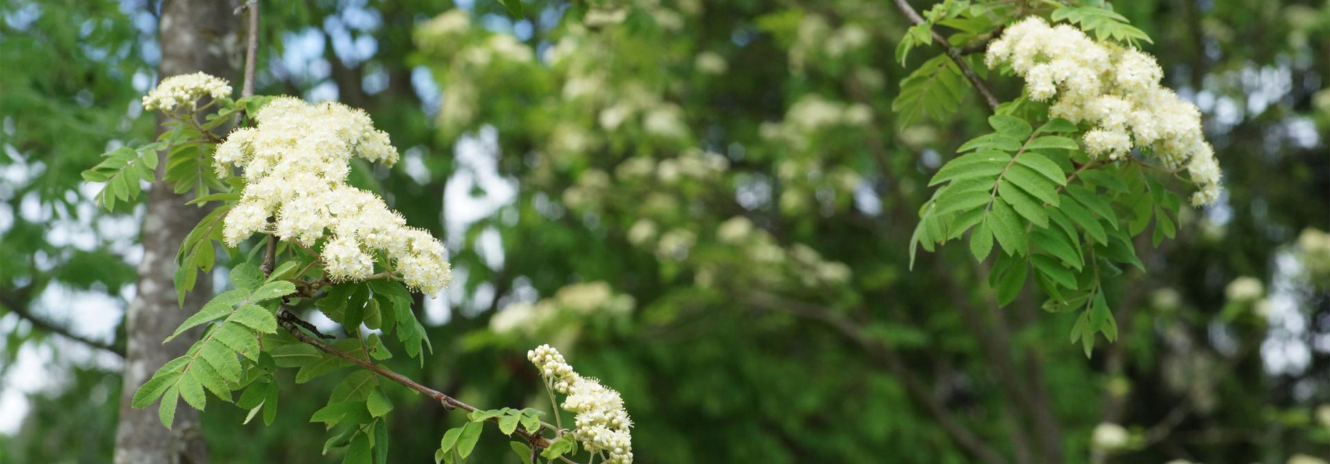 Vogelbeere (Sorbus aucuparia)>