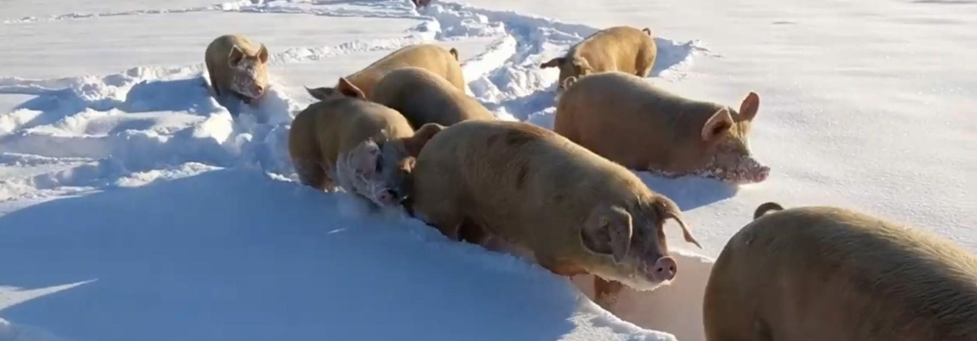 Schweine im Tiefschnee. Quelle M. Siegrist>