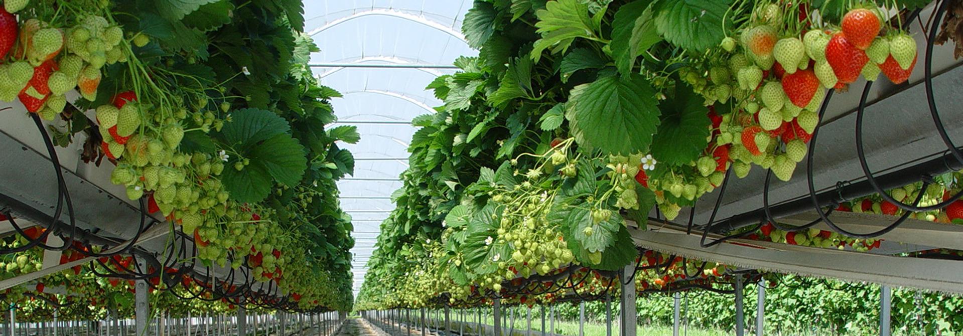 Erdbeeren in Substratkultur>