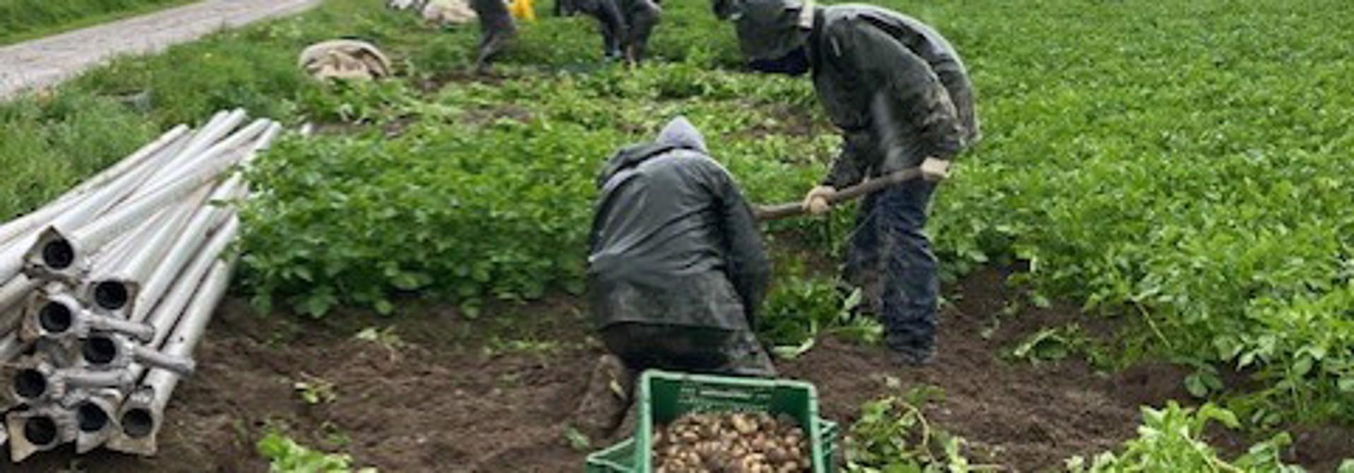 Kartoffelernte unter nassen Bedingungen>