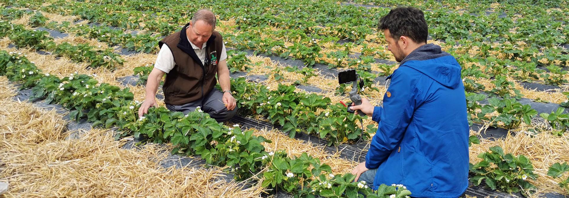 Bei der Aufzeichnung der Videos von Michael Wahl auf dem Betrieb Vetsch wurde sehr ins Detail gegangen und alle Zuschauen waren auf Augenhu00f6he mit dem Produzenten und den Erdbeerpflanzen>