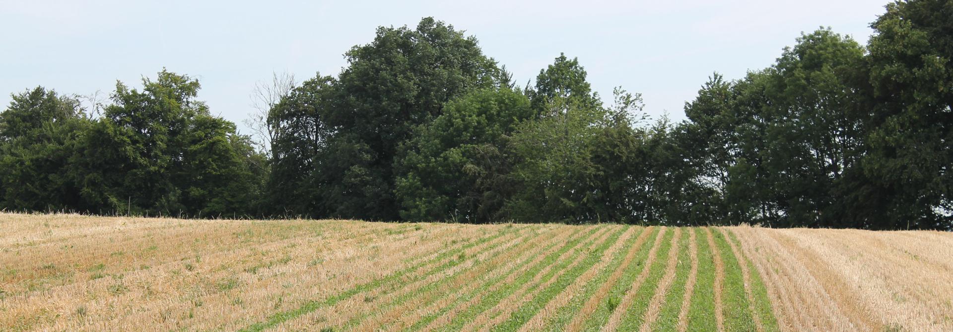 Entwicklung der Untersaaten drei Tage nach der Ernte in der Variante mit der Sorte NARA und 37 cm Reihenabstand (Bild: K. Carrel, Strickhof)>