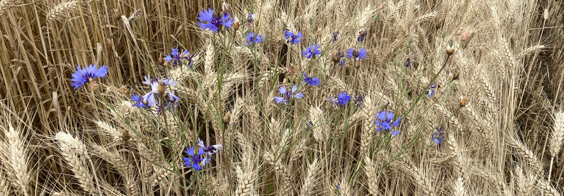 Kornblumen im Bioweizenversuch am Stiegenhof (Bild: K. Carrel, Strickhof)>