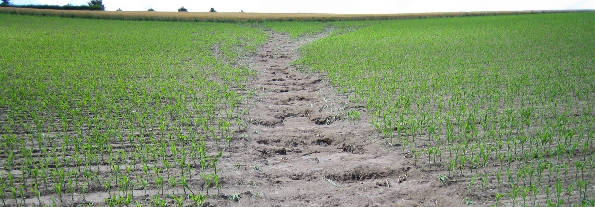 Erosion auf Maisacker>