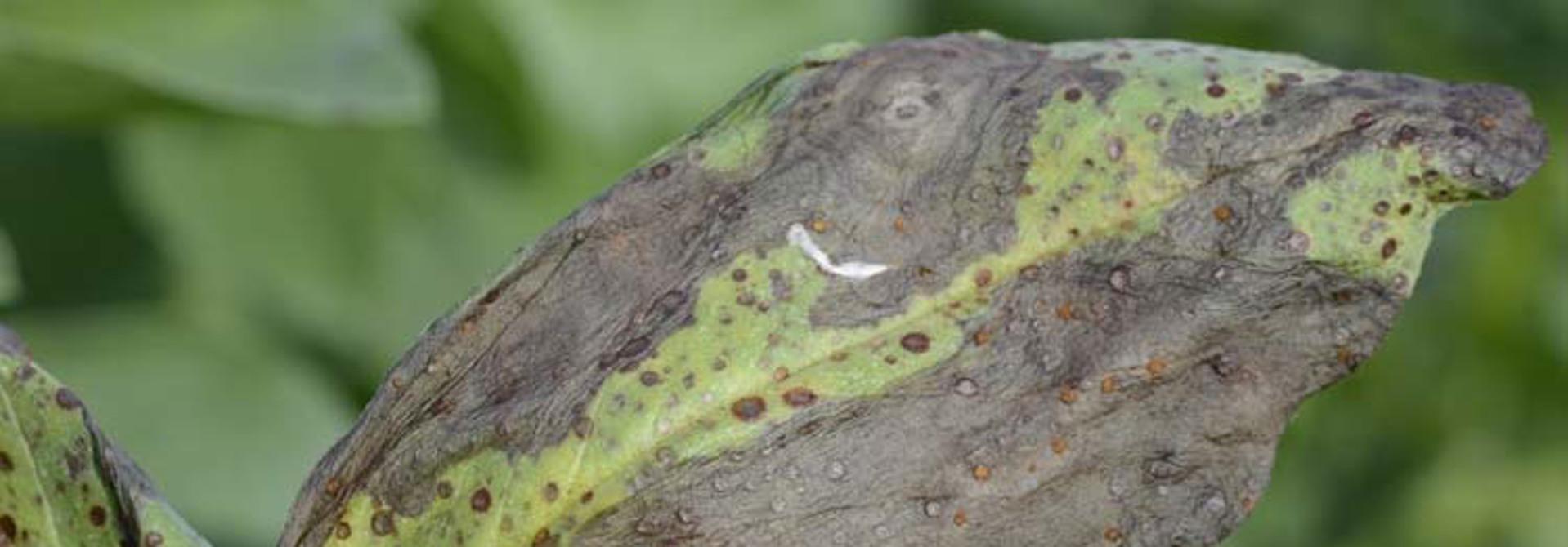 Typisches Schadbild der Schokolade-Blattflecken: braune kleine Blattsprenkel, die spu00e4ter zu scharf abgegrenz-ten Blattflecken zusammenfliessen (Bild: Pflanzenkrankheiten.ch)>