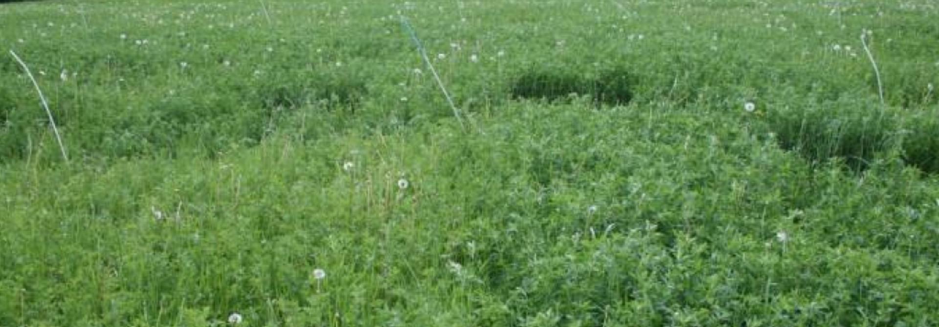 Ein Luzerne-Grasbestand aus dem Versuch der Universitu00e4t Giessen; in der linken Bildhu00e4lfte sieht man die deutliche Aufhellung der Pflanzen ohne Schwefeldu00fcngung (Bild: Dr. Stephanie Fischinger, zVg)>