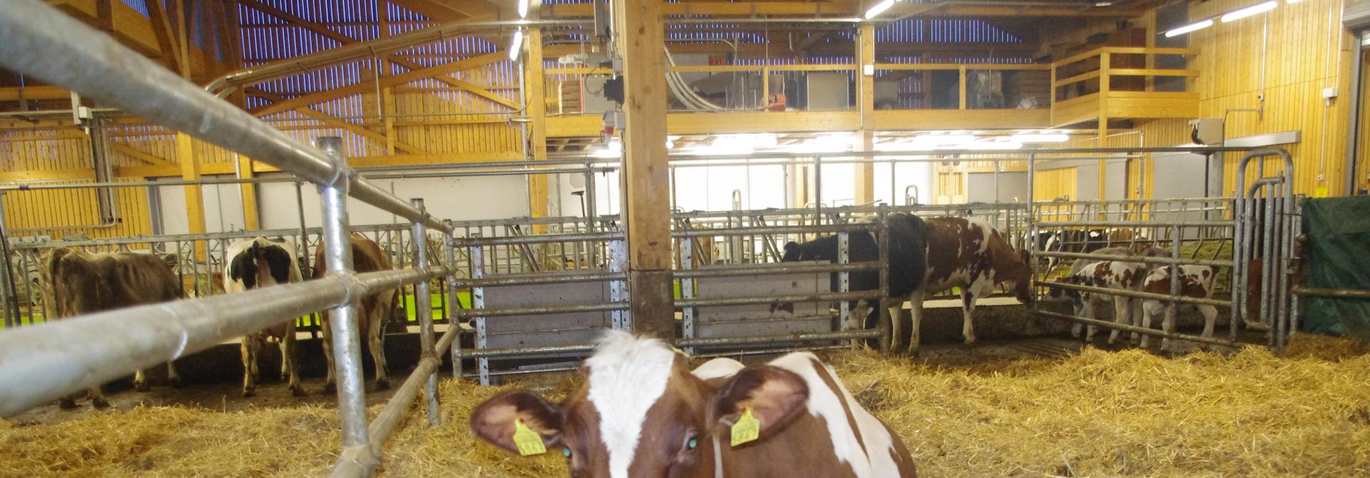 Kuh in der Abkalbebox im Stall>
