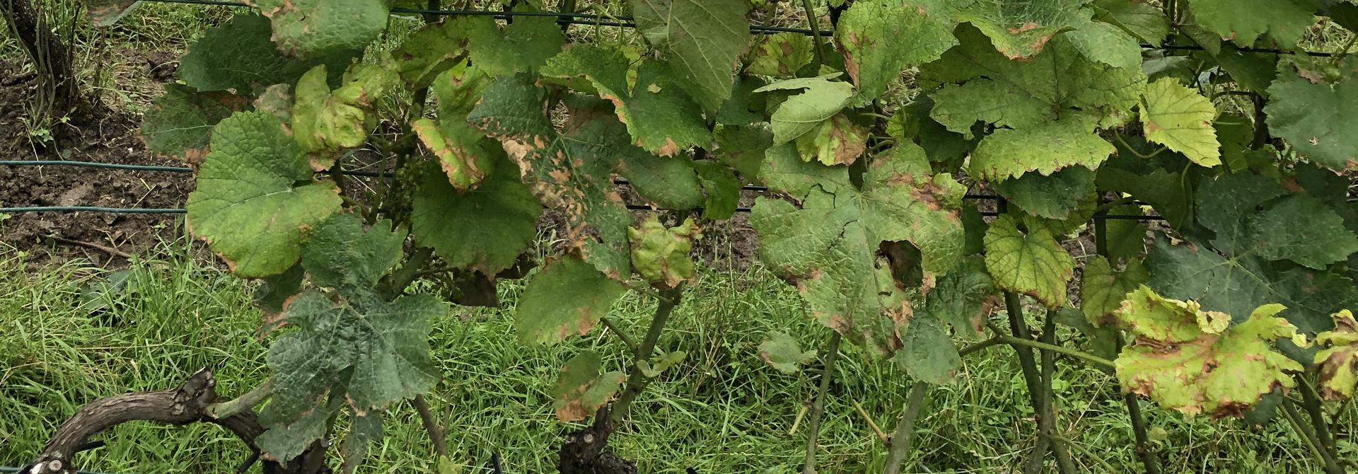 Starker Befall durch Falschen Mehltau (Plasmopara viticola) an Rebblu00e4ttern>