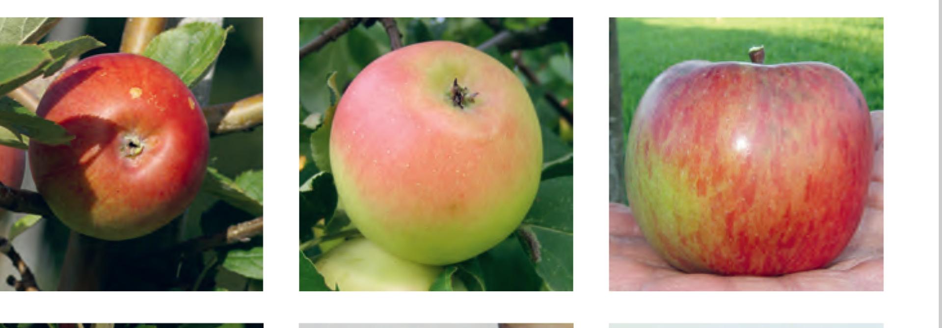 FRUCTUS-Sortenliste Feldobstbau: Robuste Apfelsorten (2019)>