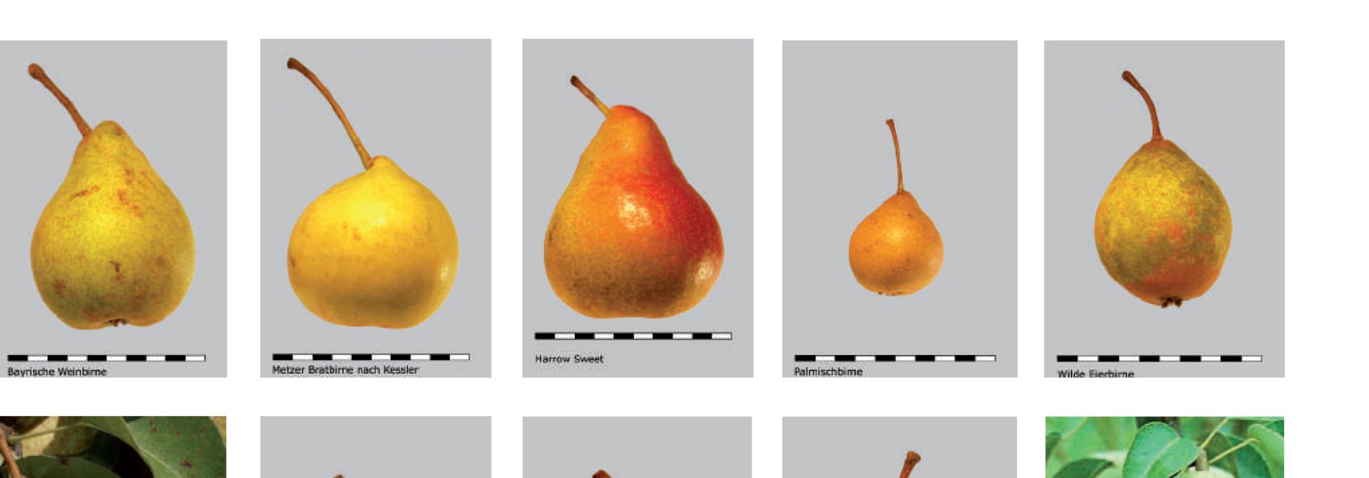 FRUCTUS-Sortenliste Feldobstbau: Robuste Birnensorten (2016)>