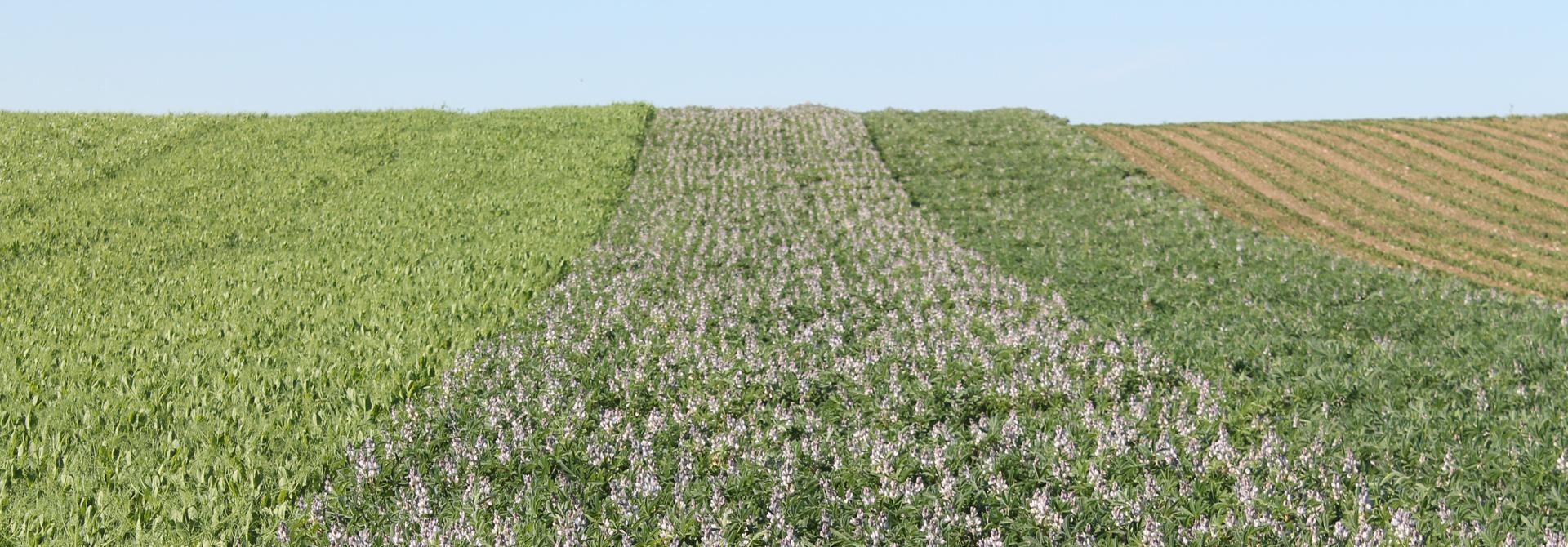 Die Weisse Lupinensorte FRIEDA weist einen guten Ertrag auf und ist mit ihrer Anthraknose-Tolerantz und rechtzeitiger Abreife vielversprechend fu00fcr dein Schweizerischen Ackerbau.>