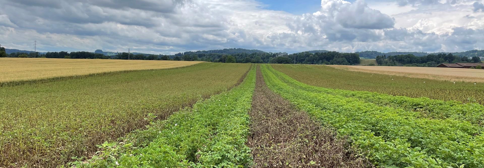 Sortenversuch biodynamischer Kartoffelbau 2021>
