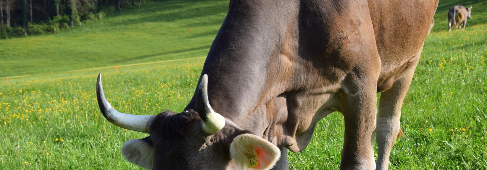 Kuh auf der Weide>