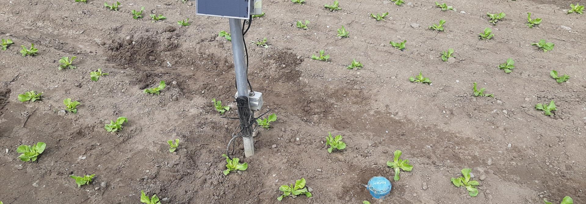 Installierte Bodenfeuchtesonde in Kopfsalat>