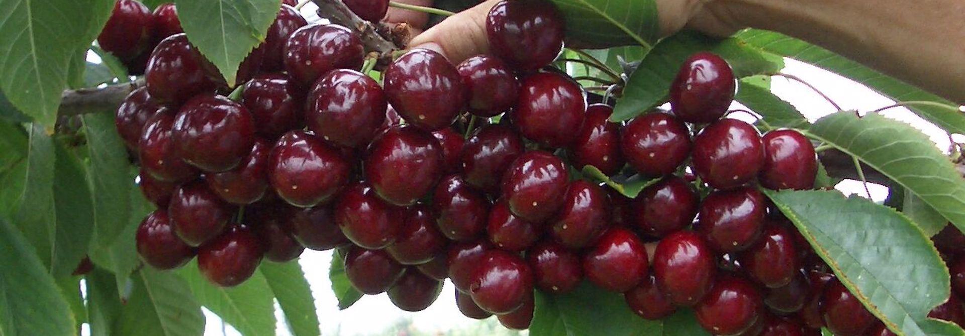 reife Sweetheart-Kirschen am Baum>