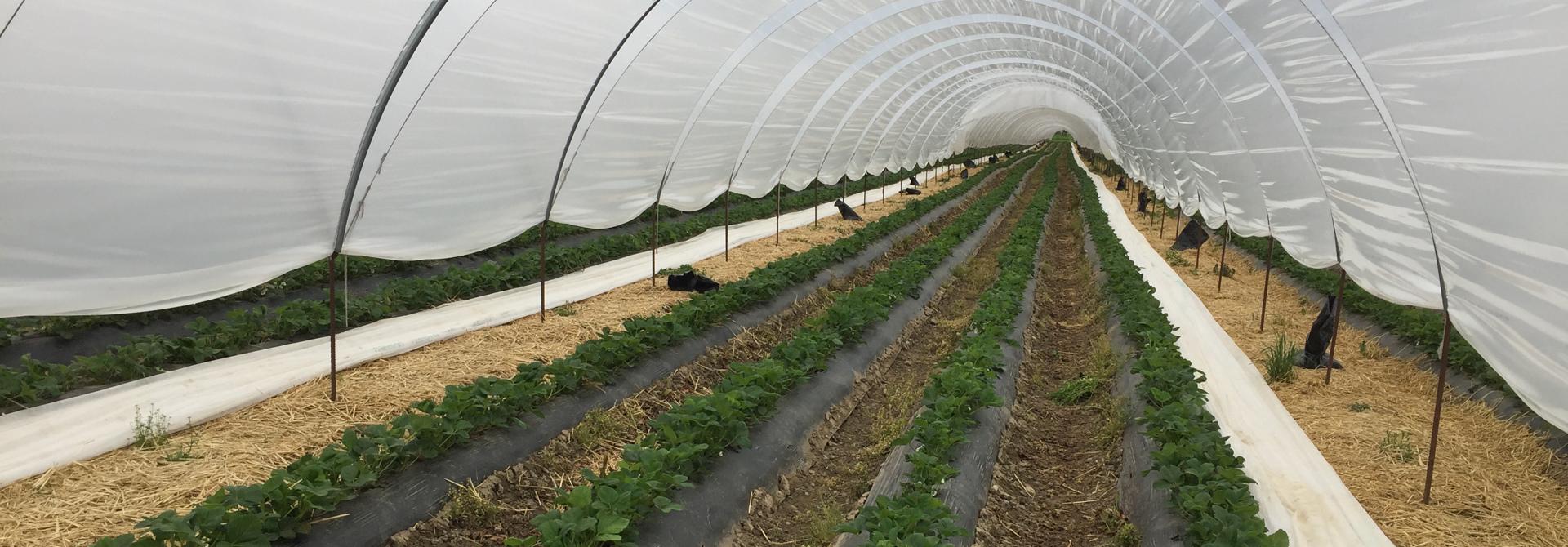 Erdbeeren Dammkulturen im Tunnelanbau>