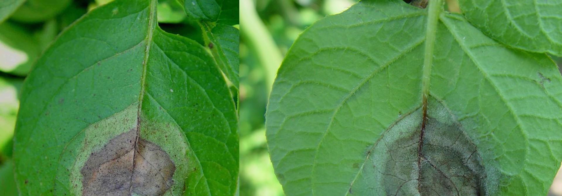 Krautfu00e4ulesymptome auf der Blattoberseite (links) und Blattunterseite (rechts). Auf der Oberseite entsteht ein typischer u00d6lfleck mit dunklem Zentrum und heller Umrandung. Auf der Unterseite bildet sich ein weisser Schimmelrasen.>