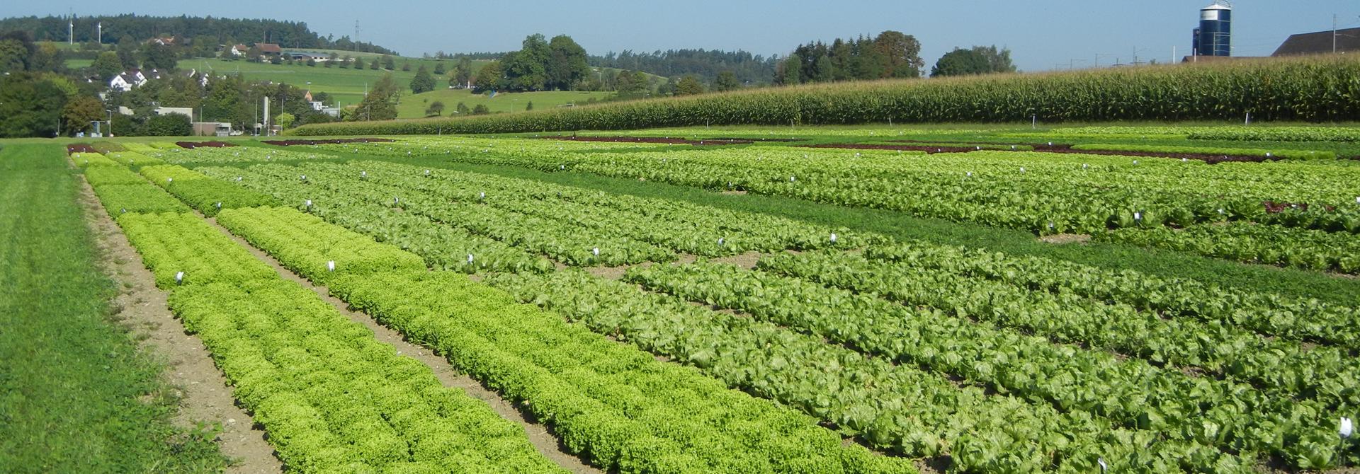 Salat-Sortenversuche am Salattag am Strickhof in Wu00fclflingen (2016)>