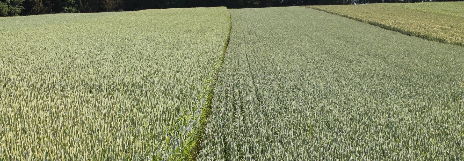 Die Biosorte TENGRI (links) neben der kurzstrohigen Sorte NARA mit Saatabstand 12cm (rechts) am 1. Juni 2018. Die Varianten mit 12 cm Reihenabstand erreichten deutlich hu00f6here Ertru00e4ge als die Verfahren mit weiten Reihen (Bild: K. Carrel, Strickhof)>