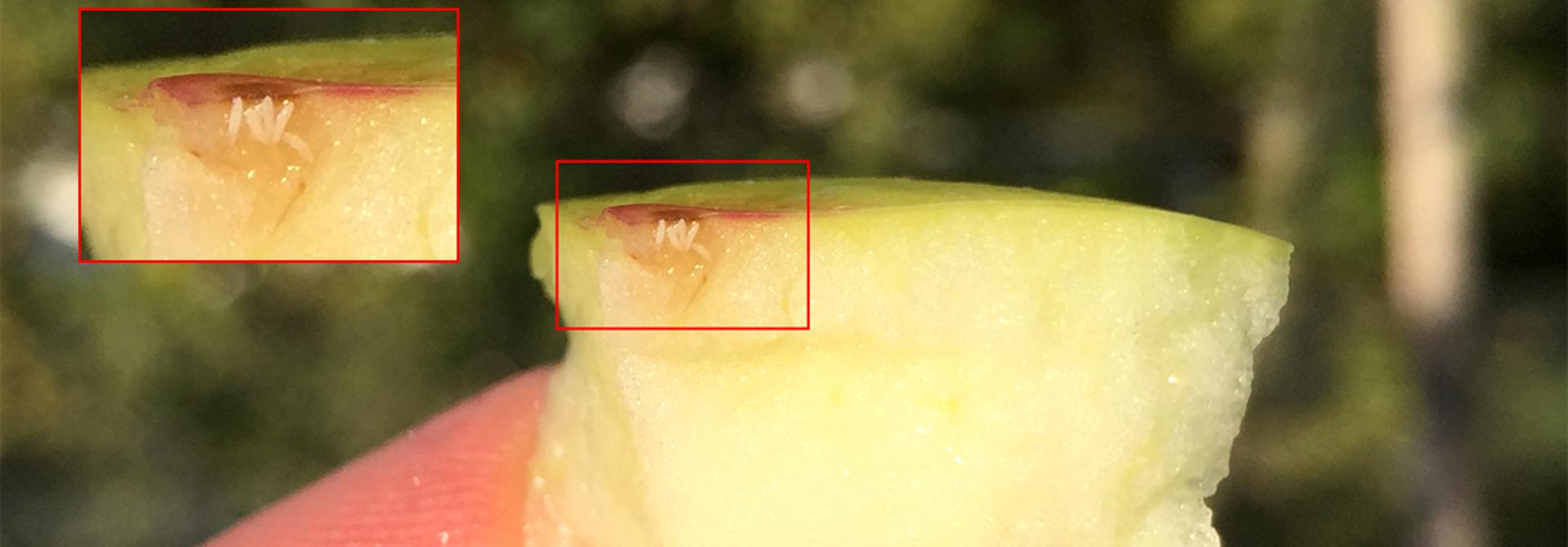 Das Weibchen der Mittelmeerfruchtfliege kann mit einem Legeapparat bis zu 10 Eier in unbeschu00e4digte Fru00fcchte ablegen.>