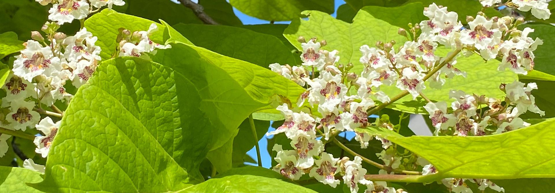 Der Gewu00f6hnliche Trompetenbaum blu00fcht von Juni bis in den Juli. Die auffallenden Blu00fctenrispen sind bereits von Weitem zu sehen.>