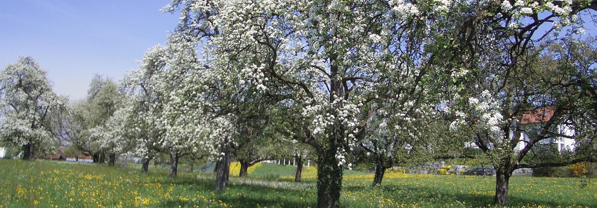 wunderschu00f6ner Hochstamm-Obstgarten>
