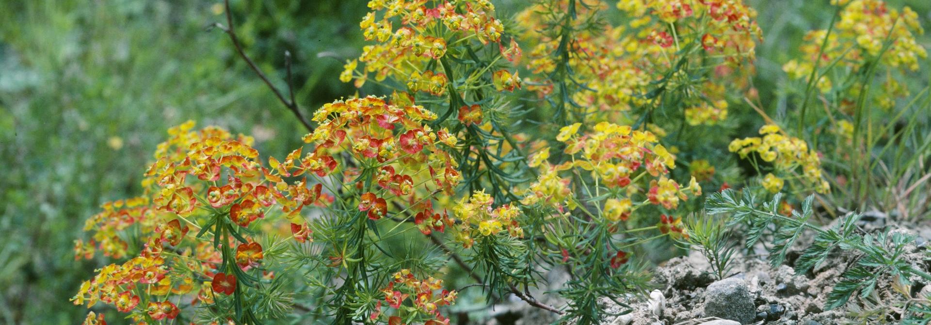 abblu00fchende Zypressenblu00e4ttrige Wolfsmilch (Euphorbia cyparissias). (Entomolgie/Botanik, ETH Zu00fcrich, Foto Albert Krebs)>