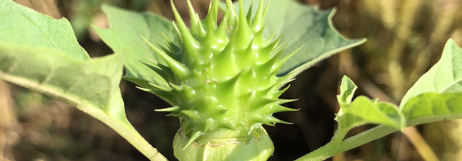 Die stachelige Samenkapsel, die dem Stechapfel seinen Namen gibt, ist gefu00fcllt mit scharzen keimfu00e4higen Samen.>