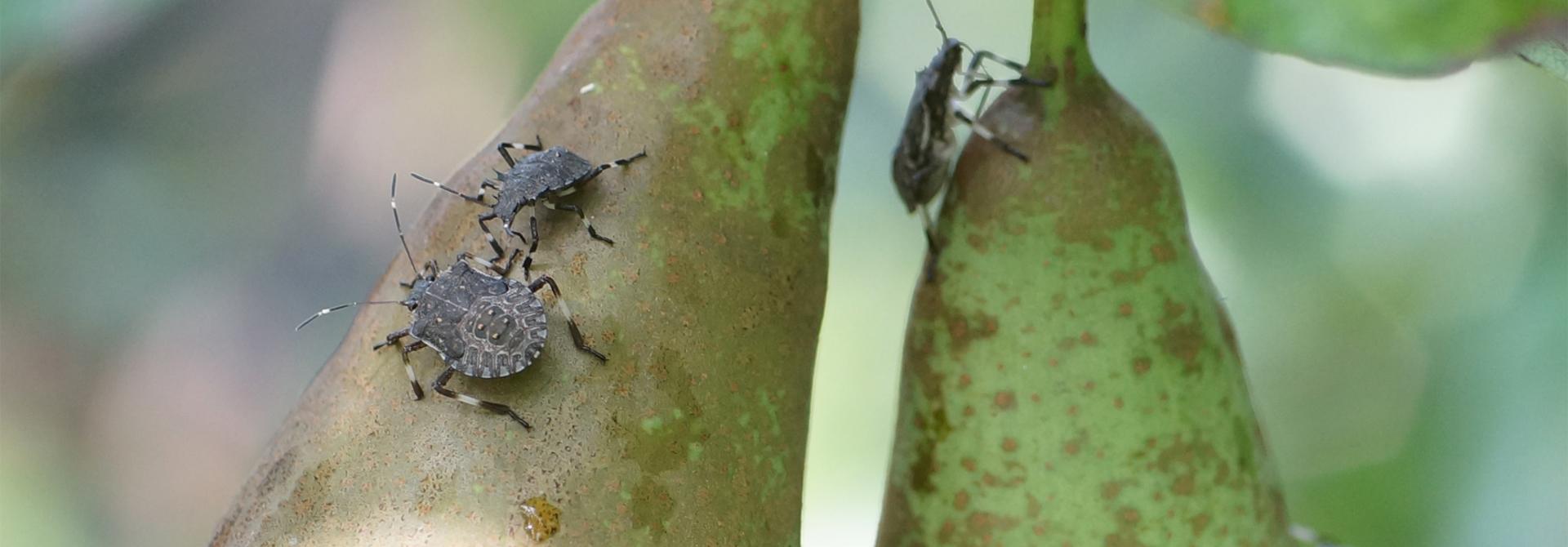Verschiedene Nymphenstadien der Marmorierten Baumwanze auf einer Conference-Birne. Die Nymphenstadien haben im Gegensatz zu adulten Baumwanzen einen gerundeten Hinterleib.>