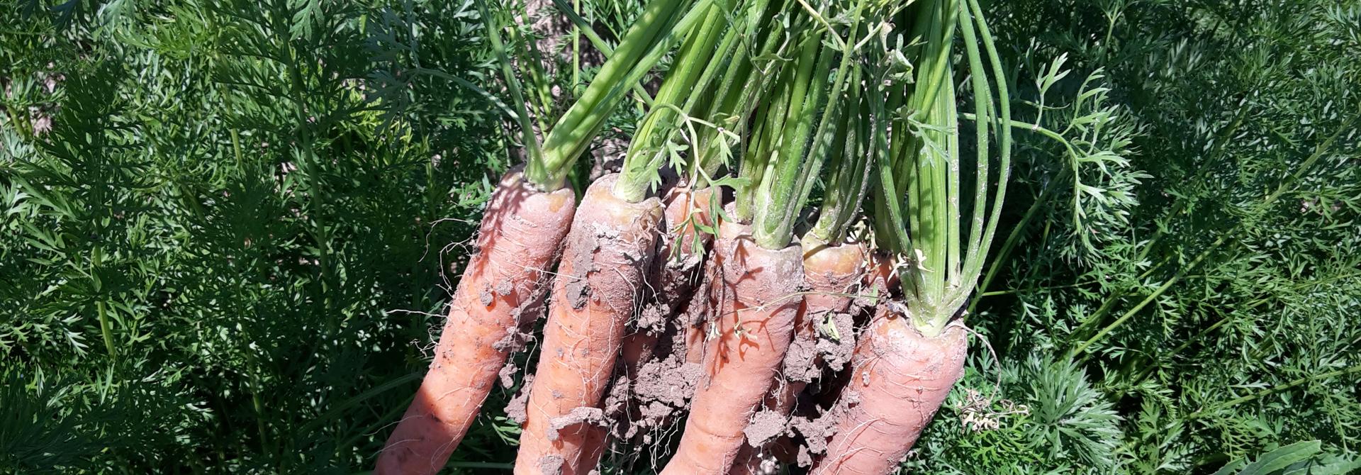 Wie die Karotten aus dem Boden zu kriegen sind, war heuer die Frage. Ein Bild aus u00abtrockenerenu00bb Sommertagen.>