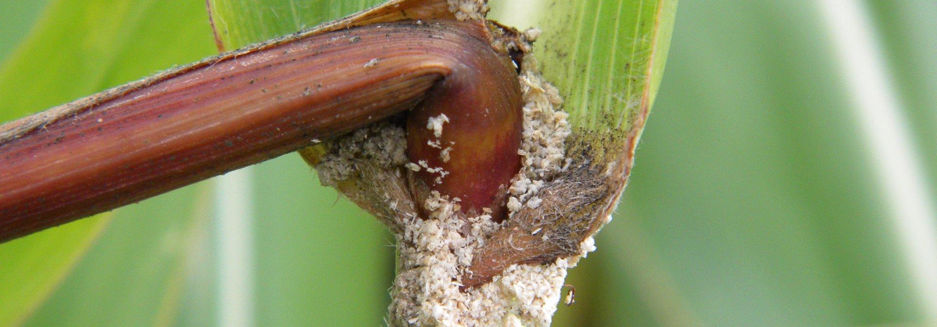 Bohrmehl in der Blattachsel deuten auf Maiszu00fcnslerlarven hin>