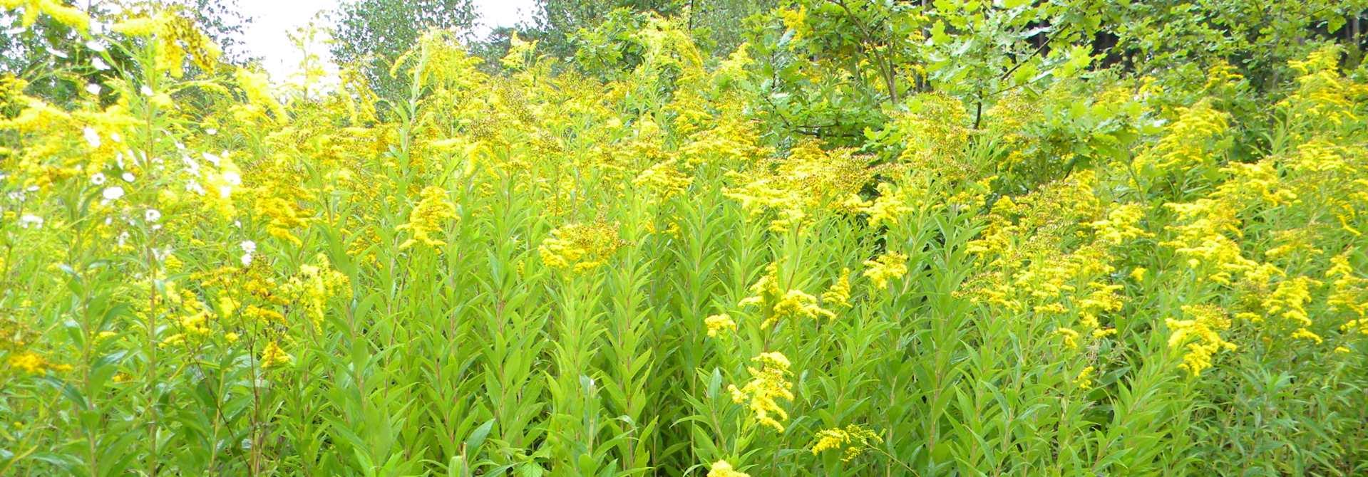 Goldrutenbestu00e4nde ku00f6nnen ganze Flu00e4chen u00fcberwuchern. So dezimieren sie die einheimische Flora und reduzieren so die Biodiversitu00e4t.>