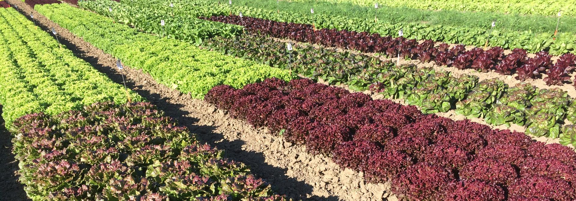 Salatsorten-Versuche Freilandgemu00fcse-Tagung 2020>