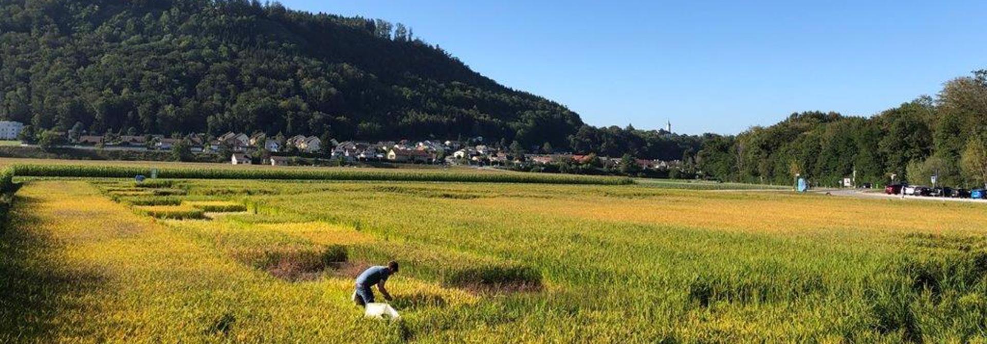 Reissortenversuch im Wasserschloss im Kanton Aargau (Bild: Katja Jacot, Agroscope)>