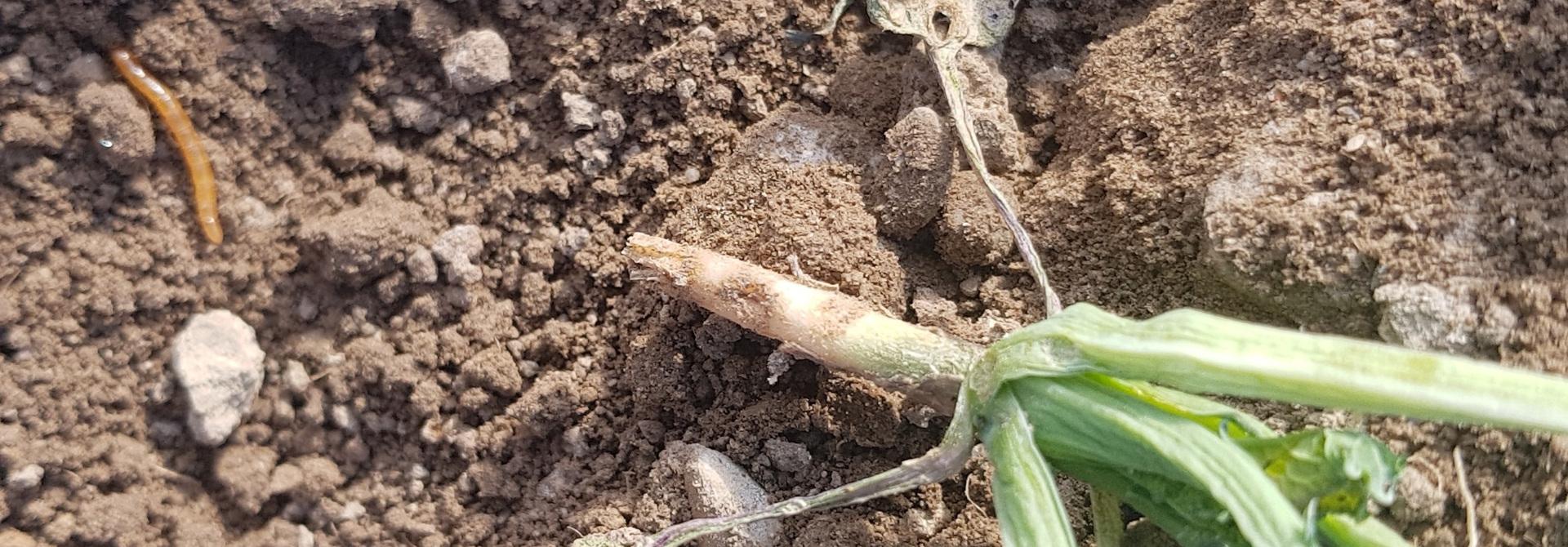 Drahtwurm frisst Rapspflanze an>