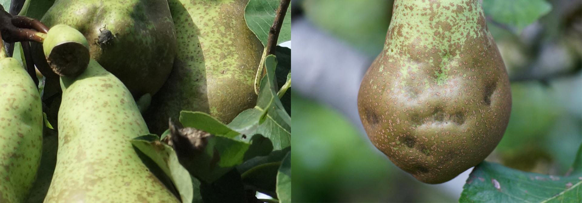 Fru00fcher Befall an Birnen fu00fchrt zu starker Deformation von Fru00fcchten (links). Saugen Marmorierte Baumwanzen relativ kurz vor der Ernte an den Fru00fcchten, entstehen kleine Einbuchtungen mit steinigen Zellen. (rechts). Solche Birnen ku00f6nnen nicht mehr verkauft werden.>