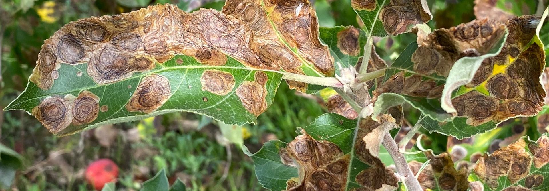 Starker Befall durch die Fleckenminiermotte an Apfelbaum.>